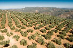 precio-hectarea-olivar